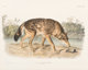 After John James Audubon (American, 1785-1851) Red Texas Wolf (No, 17, Plate LXXXIL) from The Viviparous Quadrupeds o