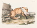 Fine Art - Work on Paper:Print, After John James Audubon (American, 1785-1851). American Red Fox(No. 18, Plate LXXXVIL) from The Viviparous Quadrupeds of...