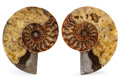Fossils:Cepholopoda, Sliced Ammonite Half. Cleoniceras sp.. Cretaceous. Madagascar.6.69 x 5.51 x 0.82 inches (17.00 x 14.00 x 2.08 cm). ...(Total: 2 Items)