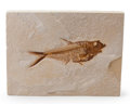 Fossils:Fish, Fossil Fish. Diplomystus dentatus. Eocene. Green RiverFormation. Wyoming, USA. 7.87 x 5.91 x 0.73 inches (20.00 x 15.00x...