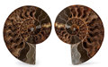 Fossils:Cepholopoda, Sliced Ammonite Pair. Cleoniceras sp.. Cretaceous. Madagascar.7.09 x 5.91 x 0.95 inches (18.00 x 15.00 x 2.41 cm). ...(Total: 2 Items)