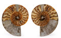 Fossils:Cepholopoda, Sliced Ammonite Pair. Cleoniceras sp.. Cretaceous. Madagascar.6.14 x 5.12 x 0.80 inches (15.60 x 13.00 x 2.04 cm). ...(Total: 2 Items)
