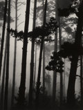 Photographs:Gelatin Silver, Brett Weston (American, 1911-1993). Pine Trees in Fog,Monterey, 1962. Gelatin silver, printed later. 13-1/2 x 10-1/4in...