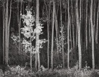 Ansel Adams (American, 1902-1984) Aspens, Northern New Mexico, 1958 Gelatin silver, 1977 15 x 19