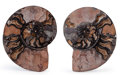 Fossils:Cepholopoda, Sliced Ammonite Pair. Cleoniceras sp.. Cretaceous. Madagascar.6.10 x 5.12 x 0.77 inches (15.50 x 13.00 x 1.95 cm). ...(Total: 2 Items)