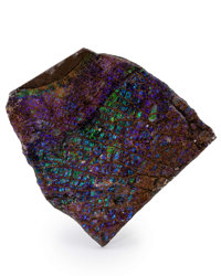 Ammolite Fossil Placenticeras sp. Cretaceous Bearpaw Formation Southern Alberta, Canada 3.78 x 3.60