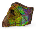 Fossils:Cepholopoda, Ammolite Fossil. Placenticeras sp.. Cretaceous. BearpawFormation. Southern Alberta, Canada. 2.95 x 2.13 x 0.54 inches(7....