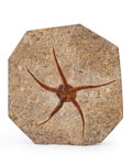 """Fossils:Echinoderms, Starfish Fossil. Brittle Star """"Ophiuroidae sp.. Ordovician. Ktaoua Formation. Mecissi, Sahara Desert, Morocco. 5.87 x 5.42..."""