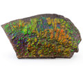 Fossils:Cepholopoda, Ammolite Fossil. Placenticeras sp.. Cretaceous. Bearpaw Formation. Southern Alberta, Canada. 5.95 x 3.43 x 0.63 inches (15...