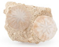 Fossils:Echinoderms, Fossil Echinoids. Faluns de Touraine. France. 5.20 x 3.45 x 1.89 inches (13.20 x 8.76 x 4.81 cm). ...