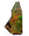 Fossils:Cepholopoda, Ammolite Fossil. Placenticeras sp.. Cretaceous. BearpawFormation. Southern Alberta, Canada. 4.74 x 2.28 x 0.46 inches(12...