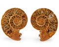 Fossils:Cepholopoda, Sliced Ammonite Pair. Madagascar. 3.68 x 2.87 x 0.61inches (9.34 x 7.30 x 1.54 cm). ... (Total: 2 Items)