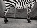 Photographs, Dietmar Busse (German/American, 20th Century). Untitled (Zebra), 1997. Gelatin silver. 13-3/4 x 18 inches (34.9 x 45.7 c...