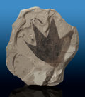 Fossils:Paleobotany (Plants), Fossil Leaf. Platanus wyomingensis. Eocene. Green River Formation. Wyoming, USA. ...