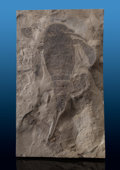 Fossils:Arthropoda, Eurypterid Fossil. Eurypterus remipes. Silurian. FiddlerGreen Formation. Herkimer County, New York, USA. ...