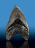 Fossils:Fish, Megalodon Shark Tooth. Carcharocles megalodon. Miocene. MorganRiver. South Carolina, USA. ...