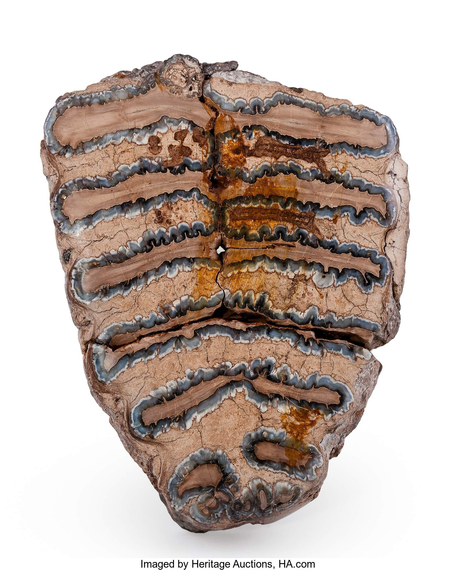 Polished Woolly Mammoth Tooth  Mammuthus primigenius
