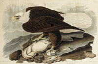 After JOHN JAMES AUDUBON (American 1785-1851) White-Headed Eagle (Plate XXXI), 1828 Handcolored engr