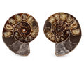 Fossils:Cepholopoda, Sliced Ammonite Pair. Cleoniceras sp.. Cretaceous. Madagascar.4.46 x 0.98 x 0.84 inches (11.34 x 2.48 x 2.13 cm). ... (Total:2 Items)