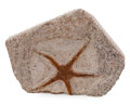 """Fossils:Fish, Fossil Starfish. """"Brittle Star"""". Ophiuroidae. Ordovician. Sahara Desert Region, Morocco. 4.43 x 3.51 x 0.81 inches (11.24 ..."""