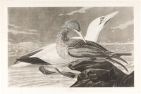 John James Audubon. Gannet. Plate 326. London: R. Havell, 1836. Uncolored engraving featuring an adult male and young