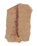 Fossils:Paleobotany (Plants), Fossil Leaf. Dawn Redwood. Metasequoia. Oligocene. Muddy Creek Formation. Beaverhead County, Montana, USA. 2.82 x 1.78 x 0...