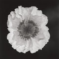Photographs:Gelatin Silver, Robert Mapplethorpe (American, 1946-1989). Poppy, 1988.Gelatin silver, 1989. 19-1/4 x 19-1/4 inches (48.9 x 48.9 cm). S...