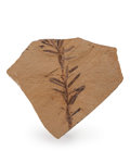 Fossils:Paleobotany (Plants), Fossil Leaf. Dawn Redwood. Metasequoia. Oligocene. Muddy Creek Formation. Beaverhead County, Montana, USA. 1.98 x 1.81 x 0...