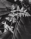 Photographs:Gelatin Silver, Imogen Cunningham (American, 1883-1976). Leaves, 1948.Gelatin silver, printed later. 9-1/2 x 7-3/4 inches (24.1 x 19.7...