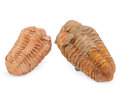 Fossils:Trilobites, Trilobite (Set of 2). Phacops. Devonian. Morocco. 3.66 x 2.02 x 1.34 inches (9.29 x 5.14 x 3.41 cm). ... (Total: 2 Items)