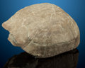 Fossils:Amphibians & Reptiles, Fossil Turtle. Stylemys nebrascensis. Oligocene.White River Badlands, South Dakota, USA. ...