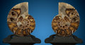 Fossils:Cepholopoda, Ammonite Pair. Pachydiscus sp.. Cretaceous.Madagascar. ... (Total: 2 Items)