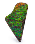 Fossils:Cepholopoda, Ammolite Fossil. Placenticeras sp.. Cretaceous. BearpawFormation. Southern Alberta, Canada. 2.38 x 1.24 x 0.35 inches(6....