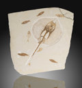 Fossils:Fish, Fossil Stingray with Fishes. Heliobatis radians. Eocene. Green River Formation. Wyoming, USA. ...