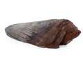 Fossils:Fish, Megalodon Shark Tooth Paperweight. Carcharocles megalodon. Miocene. Morgan River. South Carolina, USA. 5.81 x 1.85 x 1.26 ...