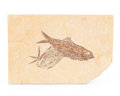Fossils:Fish, Fossil Fish. Knightia sp.. Eocence Age. Green River Formation. Wyoming, USA. 6.46 x 4.33 x 0.43 inches (16.40 x 11.00 x 1....