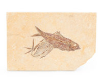 Fossil Fish Knightia sp. Eocence Age Green River Formation Wyoming, USA 6.46 x 4.33 x 0.43 inches (