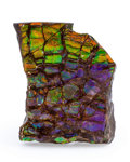 Fossils:Cepholopoda, Ammolite Fossil. Placenticeras sp.. Cretaceous. BearpawFormation. Southern Alberta, Canada. 1.99 x 1.54 x 0.30 inches(5....