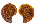 Fossils:Cepholopoda, Sliced Ammonite Pair. Cleoniceras sp.. Cretaceous. Madagascar.3.41 x 2.74 x 0.36 inches (8.65 x 6.95 x 0.92 cm). ... (Total:2 Items)