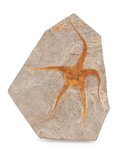 "Fossils:Fish, Starfish Plate. ""Brittle Star"". Ophiuroidae sp.. Ordovician. Ktaoua Formation. Mecissi, Sahara Desert, Morocco. 7.80 x 6.3..."