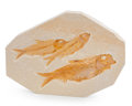 Fossils:Fish, Fossil Fish. Knightia eocena. Eocence. Green River Formation. Wyoming, USA. 6.69 x 4.76 x 0.50 inches (17.00 x 12.10 x 1.2...