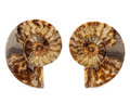Fossils:Cepholopoda, Sliced Ammonite Pair. Cleoniceras sp.. Cretaceous. Madagascar.7.48 x 6.10 x 0.81 inches (19.00 x 15.50 x 2.05 cm). ...(Total: 2 Items)