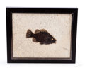 Fossils:Fish, Framed Fossil Fish. Priscacara. Eocene. Green River Formation. Wyoming, USA. 11.42 x 9.45 x 0.79 inches (29.00 x 24.00 x 2...