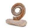 Fossils:Cepholopoda, Uncoiled Ammonite Fossil. Anetoceras sp.. Devonian .Hmar Lachdade, Erfoud, Morocco. 4.92 x 2.56 x 4.53inches...