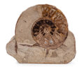 Fossils:Cepholopoda, Ammonite Fossil. Undetermined Species. Jurassic. Jurassic Coast,West Dorset, UK. 4.96 x 1.78 x 4.24 inches (12.60 x 4.51 ...