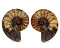 Fossils:Cepholopoda, Sliced Ammonite Pair. Cleoniceras sp.. Cretaceous. Madagascar.5.28 x 4.34 x 0.57 inches (13.40 x 11.03 x 1.46 cm). ...