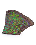Fossils:Cepholopoda, Ammolite Fossil. Placenticeras sp.. Cretaceous. BearpawFormation. Southern Alberta, Canada. 5.46 x 4.82 x 0.72 inches(13...