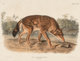 After John James Audubon (American, 1785-1851) Red Texan Wolf (No. 17, Plate LXXXIL) from the series The Viviparous Q...