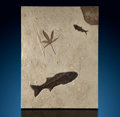 Fossils:Fish, Fossil Fish & Leaf Mural. Mioplosus sp.and Knightia sp.. Eocene. Green River Formation. Wyoming, USA. ...