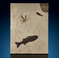 Fossil Fish & Leaf Mural Mioplosus sp.and Knightia sp. Eocene Green River Formation